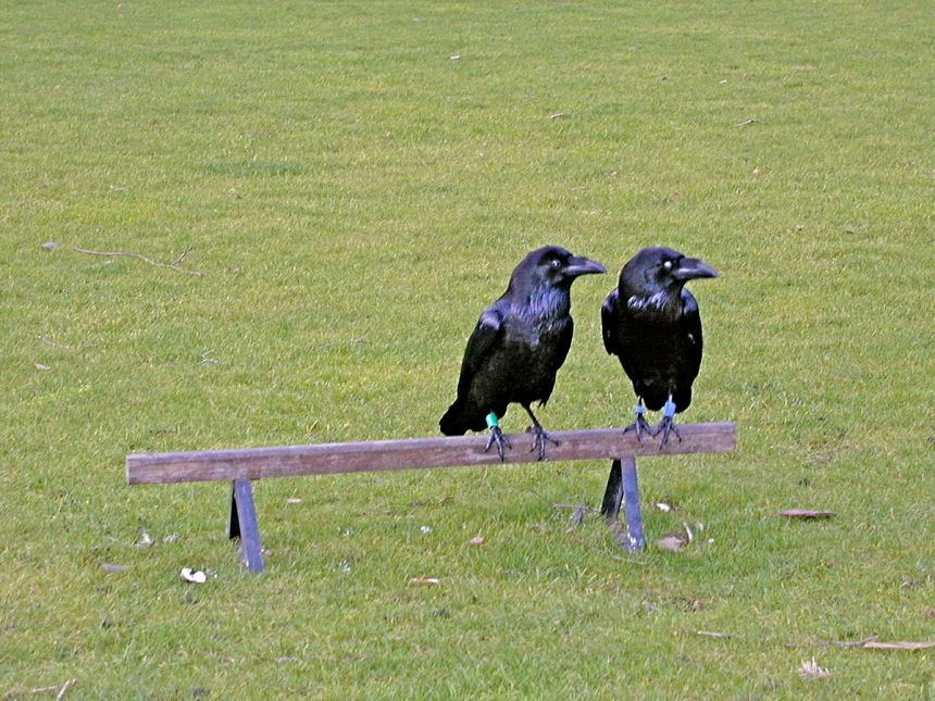 1200px-Crows_In_England
